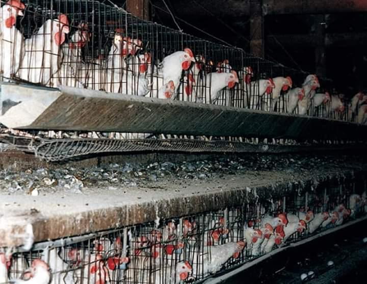 ثمن لحم الدجاج الحي؛ واللحوم الحمراء واش ماقديتوش تنقصوه؟؟؟